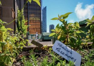 Royal-York-Fairmount's-rooftop-garden